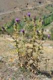 Carduus acanthoides in den Bergen von Armenien Stockfoto