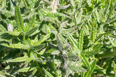 Carduus acanthoides Distelanlage Lizenzfreie Stockfotos