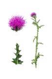 Carduus, acanthoides, fondo, bianco, verde, pianta, wegdistel, singolo, porpora, isolato, natura, primo piano, carduus acanthoide Immagine Stock