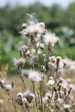 Carduus in autumn. A thistle growing in a field Royalty Free Stock Image