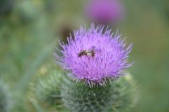 Carduus con la hormiga Imágenes de archivo libres de regalías