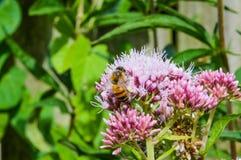 Carduus con una abeja en el top Fotos de archivo libres de regalías