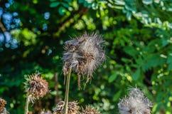 Carduus för flera torr tistelknoppar Fokus på den största blomman Skjuta fr?n botten upp Dagsljus royaltyfria bilder