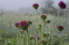Carduus lilla dei germogli Campo nebbioso di mattina Fuoco selettivo Sfuocatura intorno ai bordi fotografia stock