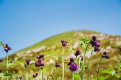 Carduus nas montanhas de Karpathian imagem de stock royalty free