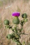 Carduus Plumeless κάρδοι Πορφυρό άγριο λουλούδι Στοκ Εικόνες