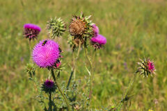 Carduus or plumeless thistles. Royalty Free Stock Photography