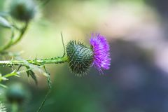 Carduus or plumeless thistles purple flower close-up on thorns background. Honey plants of Europe Stock Images