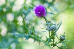 Carduus or plumeless thistles purple flower close-up on thorns background. Stock Image