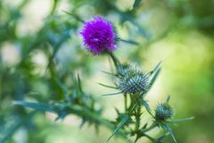 Carduus or plumeless thistles purple flower close-up on thorns background. Stock Photo