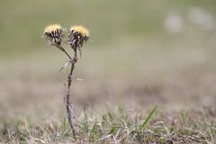 Carduus thoermeri, Asteraceae, dried thistle plant on the plateau Ay Petri. Crimea stock photography