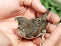 Care. Two hands protect a little baby sparrow Stock Photo