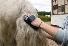Care. Groom  cleans a  tail of horse with a brush Stock Images