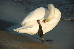 Care. Freezing swan taking care of its plumage during a sunset Royalty Free Stock Images