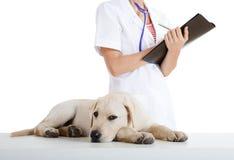care att ta för hund som är veterinay Arkivfoton