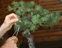 Care Of Bonsai Tree. Demonstrating pruning of a Bonsai tree Royalty Free Stock Photo
