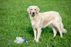 Care for dog hair Stock Image