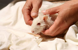 Care for a domestic rat. After it's bathing Royalty Free Stock Image