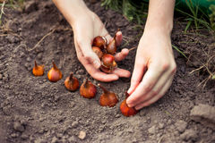 Care of flower-garden. Planting flower bulbs (tulip) in the garden in autumn Stock Photos