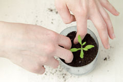 Care of green shoots Royalty Free Stock Photos