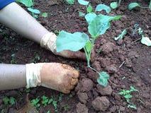 Care Kai-Lan getable garden.  Royalty Free Stock Photography