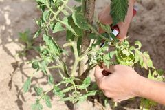 Care of plantings during growth. Sanitary pruning with pruning shears, shoots of vegetable crops in the garden Stock Photos