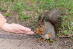 Care of a squirrel Royalty Free Stock Photos