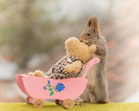 Care taker. Red squirrel holding a pram with a bear Stock Photos