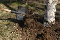 Care of the tree loosening the soil with a shovel around the birch trunk. Close-up royalty free stock images