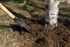Care of the tree loosening the soil with a shovel around the birch trunk. Close-up royalty free stock photos