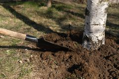 Care of the tree loosening the soil with a shovel around the birch trunk. Close-up stock image