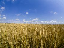 Careal fields with blue sky royalty free stock images