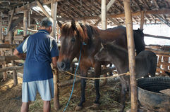 Cared for horses. Farmers are being cared for horses in the city of Solo, Central Java, Indonesia Royalty Free Stock Images