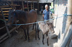Cared for horses. Farmers are being cared for horses in the city of Solo, Central Java, Indonesia Stock Photo