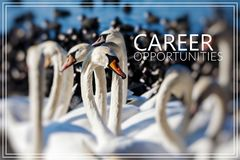 Career Opportunities. Swans on the lake. Royalty Free Stock Photos