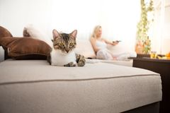 A carefree domestic cat looks into the camera while lying on the sofa. stock photography