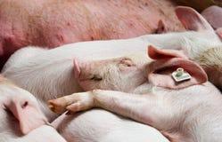 Carefree piglet sleeping Stock Photo