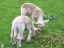 Two lambs, two young lambs graze in a field royalty free stock photo