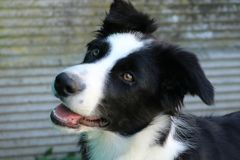 Careful and curious look of a young border collie royalty free stock photo