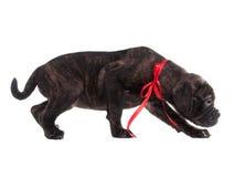 Careful frightened puppy Stock Photo