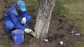 Careful gardener whitening fruit apple tree trunk with special liquid. Careful gardener whitewashing fruit apple tree trunk with special liquid in spring time stock video footage