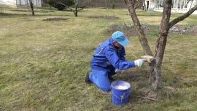 Careful gardener whitewashing fruit apple tree trunk with chalk. In spring time. Static shot stock video