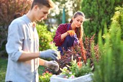 Careful guy gardener in garden gloves puts the pots with seedlings in the white wooden box on the table and a girl stock photos