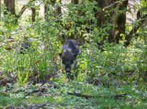 Careful hairy pig comes out of the bushes Stock Photography