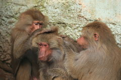 Careful hamadryas baboons Royalty Free Stock Photography