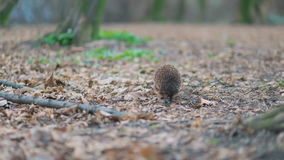 Careful little forest ambulance hedgehog moving forward near mossy roots of the huge tree, Steady cam, slow mo shot stock video footage