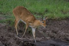 Careful now!. Young Reedbuck carefully walking through the mud Stock Photo