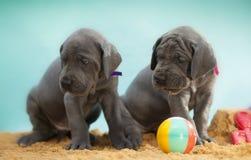 Careful puppies Royalty Free Stock Photos