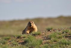 Careful and very observant groundhog. Young and amusing groundhog in the wild nature Stock Images