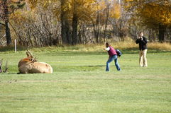 Careless. Couple near a bull elk man is filming while woman is trying to touch the bull royalty free stock photos